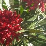 Hdr-Red-waratah